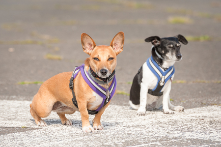 animal ear: two terrier dogs in body harnesses Stock Photo