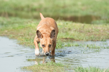 sniffer: small dog sniffing a trail through water Stock Photo