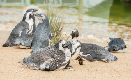 family of young and fledgling African penguins on a shoreline environment
