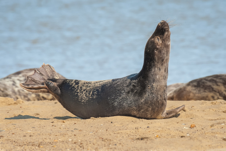 grey seal basking in sunshine on a sandy beach