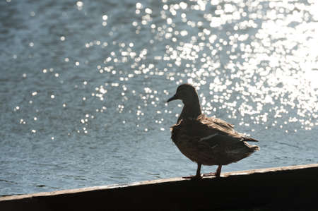 silhouette of a duck against sparkling water