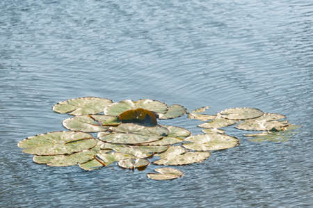 background of water lily pads on a freshwater pond