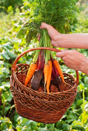 Freshly Picked Beetroot and Carrots  photo