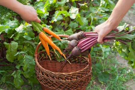 Freshly Picked Beetroot and Carrots. Stock Photo