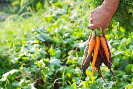 Vers geplukte Rode bieten en wortelen.