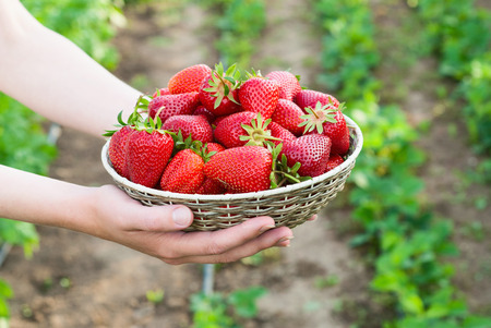 woman holding basket with strawberry photo
