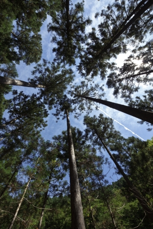 I look up at the cedar trees from the forest photo