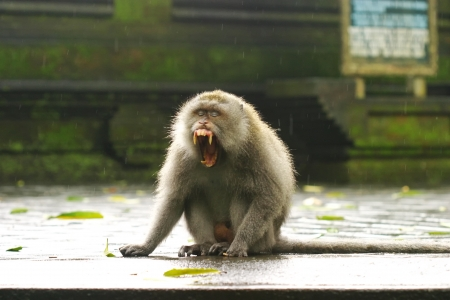 ubud: Monkey Yawning Ubud Monkey Forest village