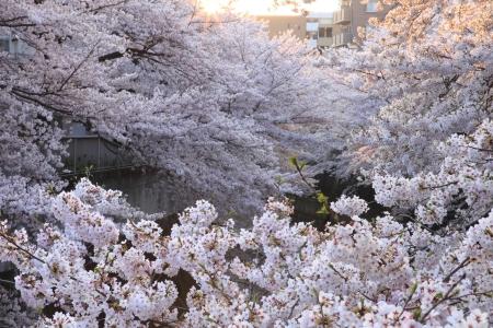 riverine: Cherry blossoms Stock Photo