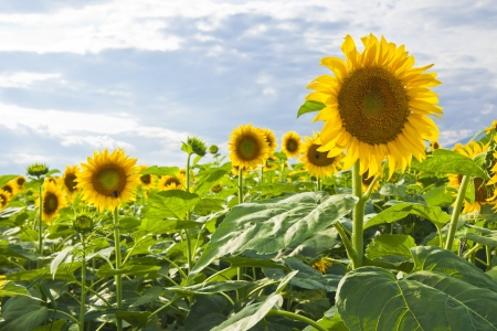 croft: Sunflower field