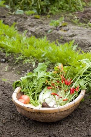 dikon: Los familiares jard�n lleno cosecha verduras