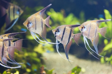 Scalar level angelfish photo