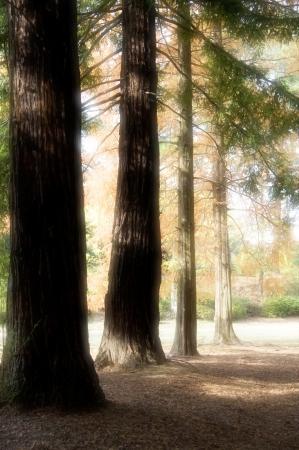 metasequoia: Metasequoia leaves