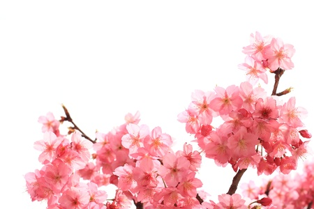 pink cherry: Pink cherry blossoms