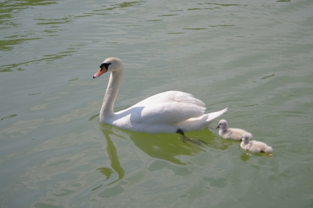 Family of swans photo