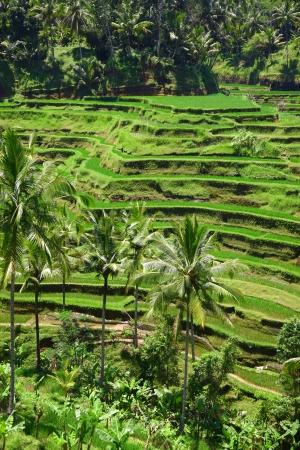 ubud: Terraced rice fields of Ubud