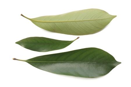 fagaceae: Aoba of edulis Stock Photo