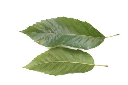 fagaceae: Aoba oak