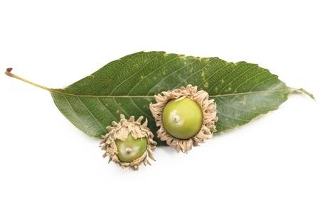 fagaceae: Leaves and acorns of oak Stock Photo