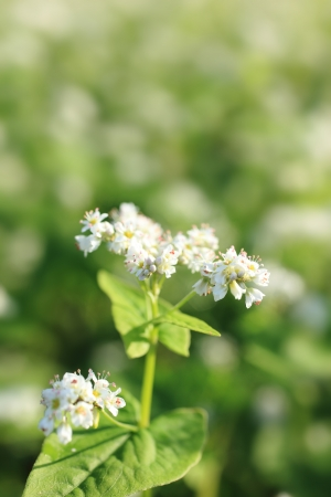 croft: Autumn flowers buckwheat