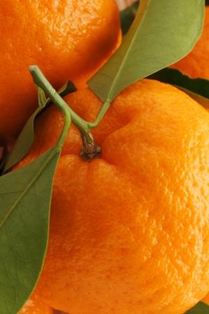 rutaceae: Mature trees reticulata Stock Photo