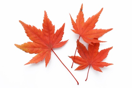 aceraceae: Cutout for material of maple with autumn leaves Stock Photo