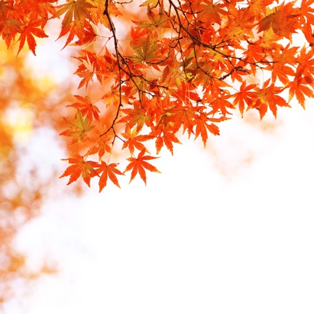 aceraceae: Background material of maple with autumn leaves