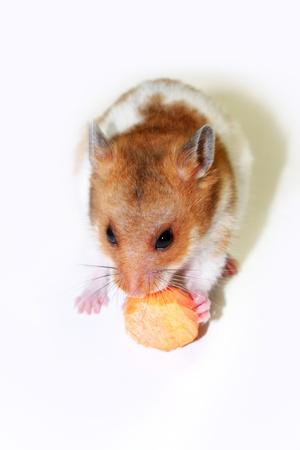 hamsters: Golden hamsters eat carrots Stock Photo