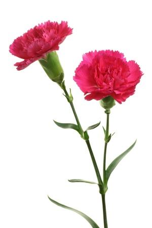 carnation: Spray carnation Stock Photo