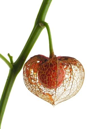 ground cherry: Ground cherry