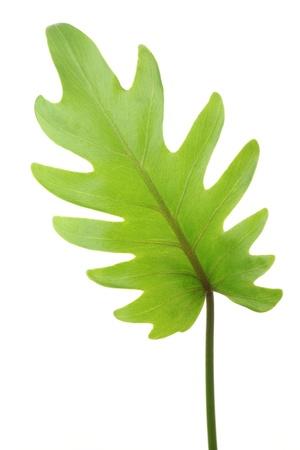 xanadu: Philodendron - Xanadu Stock Photo