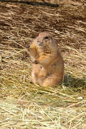 dimly: Prairie dog
