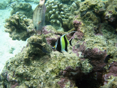 subsea: Moorish idol