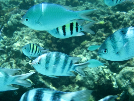 subsea: Six thousand damselfish