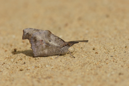 imago: Water absorption of Tengu butterfly
