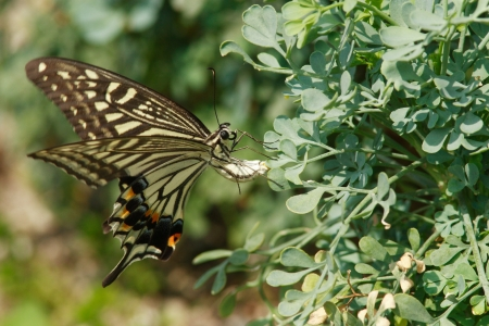spawning: Spawning of swallowtail