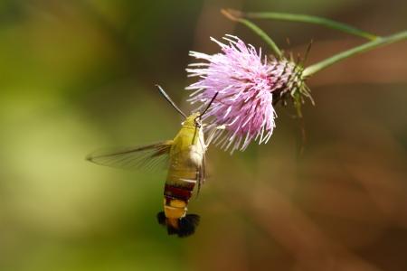 pellucid: Pellucid hawk moth to sucking nectar