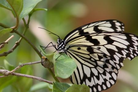 spawning: El desove de la mariposa Foto de archivo
