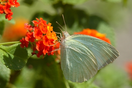 pieridae: Breakers white butterfly to  in Lantana Stock Photo