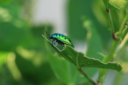 coccinella: Coccinella Kin bug
