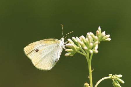 pieridae: Cabbage butterfly