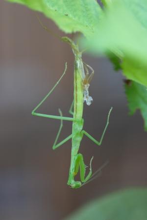 molting: Molting mantis larvae Stock Photo