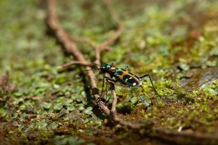 tiger beetle: Okinawa tiger beetle