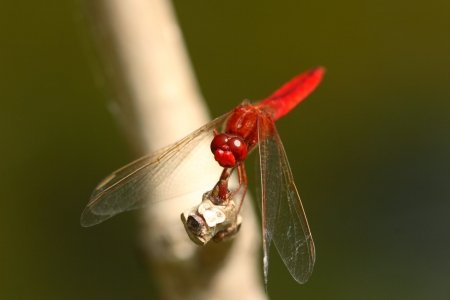 crocothemis: Male of Thailand Riku scarlet dragonfly perched on a branch