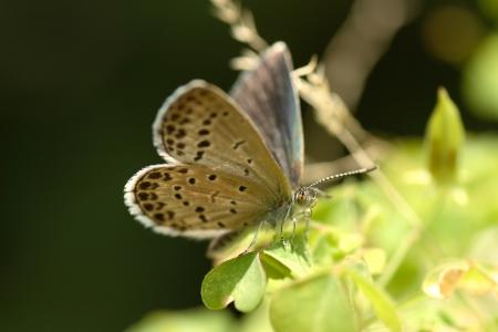 imago: Corbicula japonica