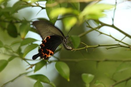 spawning: Lentejuela de desove en kumquat