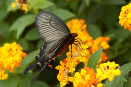 lantana: Byasa alcinous to nectar sucking in Lantana Stock Photo