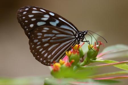 imago: Ryukyu chestnut tiger butterfly sucking nectar to