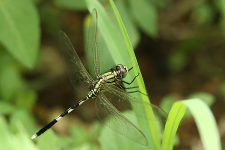 'living organism': Of green skimmer