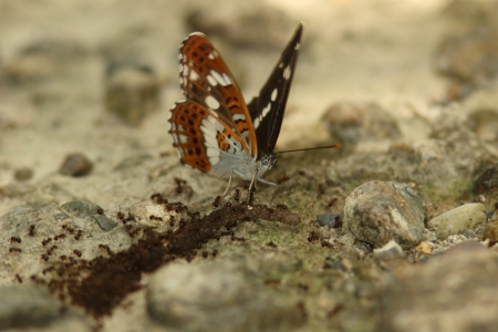 cadaver: Ants flock to the corpse of earthworm and white admiral